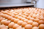 supermarket egg production